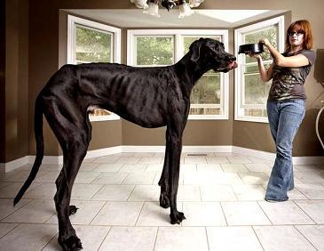 Зевс самая большая собака в мире